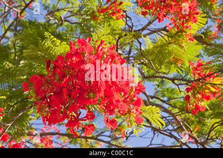 red flame from Mauritius (The Royal Poinciana) - Stock Photo