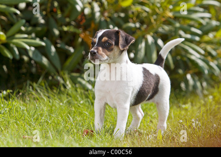 Danish Swedish Farmdog - puppy standing on meadow - Stock Photo
