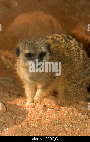 A Meerkat or suricate, Suricata suricatta, is a member of the mongoose family - Stock Photo