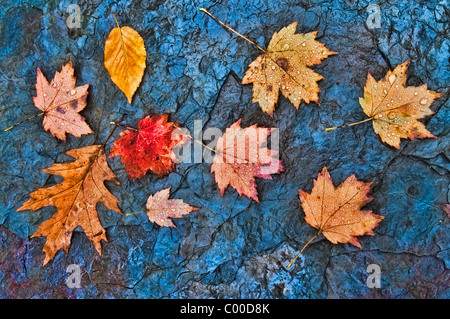 Rain drop covered fall leaves in a slate rock creek bed, Blue Hen Falls, Ohio Stock Photo