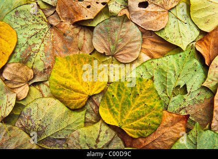 Colorful, vibrant Eastern Red Bud tree leaves form an intricate pattern, showing various states of returning back - Stock Photo