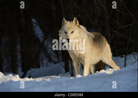 A white alpha male grey wolf watches over his pack in winter snow cover - Stock Photo