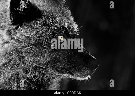 A black wolf face profile with frost-covered fur from a cold winter evening in the Northwoods of Canada - Stock Photo