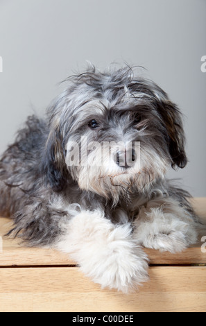 A studio portrait of a gray shaggy dog on a light colored, wooden table - Stock Photo