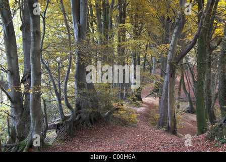 Core Hill Wood with beech trees in Autumn foliage, near Sidmouth, Devon, UK November 2007 - Stock Photo