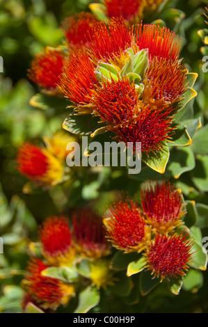 South Africa, Cape Town, Kirstenbosch National Botanical Garden. Protea Garden, Tufted Pincushion. - Stock Photo