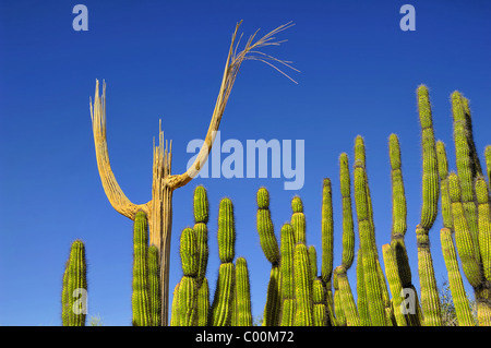 The skeleton of a Saguaro Cactus together with a group of Organ Pipe Cactii. Choirmaster and Choir ? Desert Museum - Stock Photo