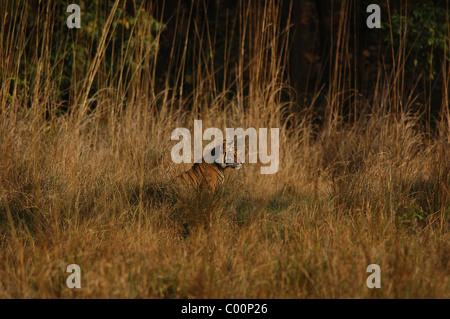 1-year-old male Bengal Tiger cub looking on from the midst of a sea of grass in a meadow in Bandhavgarh Tiger Reserve, - Stock Photo