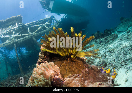 Featherstar. With jetty in background. Misool, Raja Ampat, West Papua, Indonesia. - Stock Photo