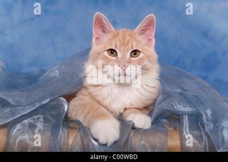 Sibirische Katze / Siberian Forest Cat - Stock Photo