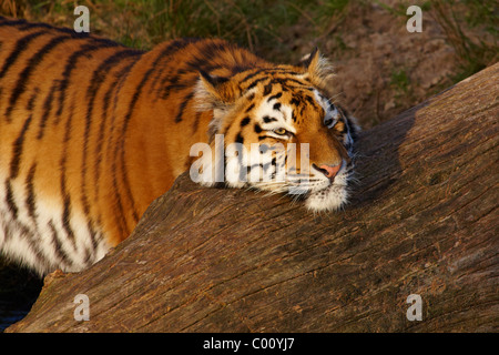 Siberian Tiger resting with her head on a fallen tree during sunset - Stock Photo