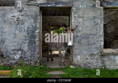 Donkey in Deserted Evacuated Cottages on Great Blasket Island, The Blasket Islands, Off the Dingle Peninsula, County - Stock Photo