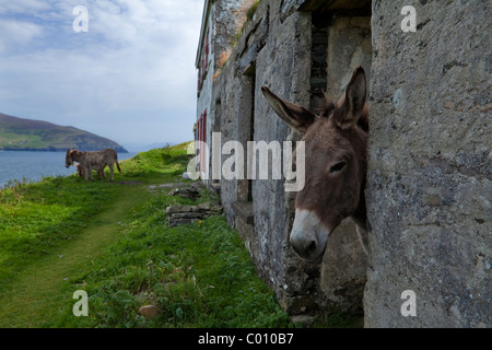 Donkeys in Evacuated Deserted Cottages on Great Blasket Island, The Blasket Islands, Off the Dingle Peninsula, County - Stock Photo