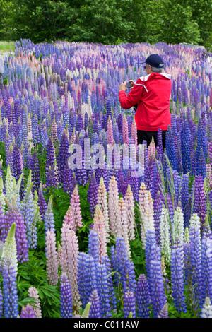 Lupin wildflowers in New Zealand - Stock Photo