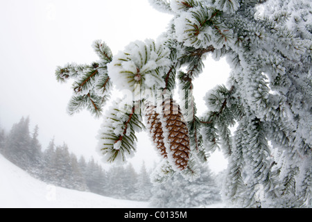 Frost covered cones of Norway Spruce (Picea abies) in the nature reserve of the Auvergne volcanoes (France). - Stock Photo