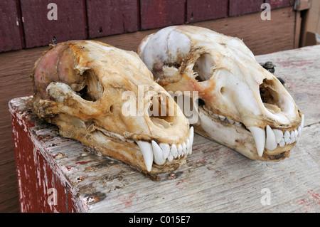 Fresh skinned skull of a polar bear, Clyde River, Baffin Island, Nunavut, Canada, Arctic - Stock Photo