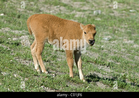 Bison (Bison bison), calf, in Yellowstone National Park, Wyoming, USA, America - Stock Photo