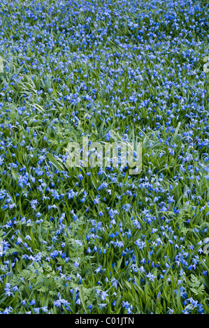 Siberian squill, wood squill or spring beauty (Scilla siberica), Schwaz, Tyrol, Austria, Europe - Stock Photo
