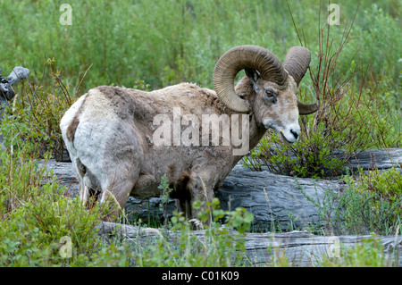 Bighorn sheep (Ovis canadensis) in Yellowstone National Park, Wyoming, USA, America - Stock Photo