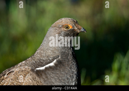Blue Grouse (Dendragapus obscurus), Grand Teton National Park, Wyoming, USA, North America - Stock Photo
