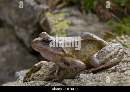 Common Frog (Rana temporaria), Stockacher Boeden, Kuehtai, Tyrol, Austria, Europe - Stock Photo