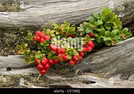 Cowberry or Lingonberry (Vaccinium vitis-idaea), Nockberge National Park, Carinthia, Austria, Europe - Stock Photo