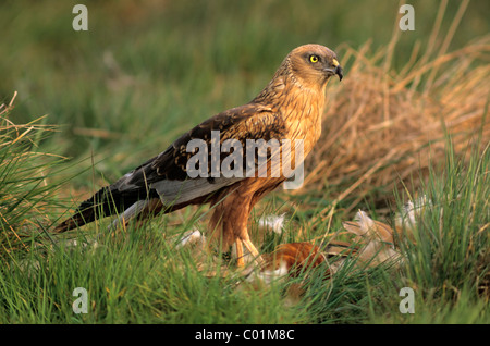 Western Marsh Harrier (Circus aeruginosus), male with prey, Hortobagy, Hajdú-Bihar, Hungary, Europe - Stock Photo