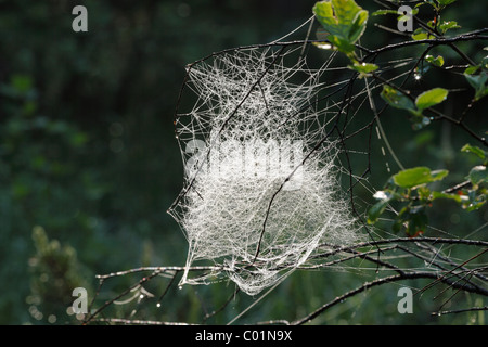 Spider web of a Sheet Weaver or Money Spider (Linyphiidae), Bavaria, Germany, Europe - Stock Photo