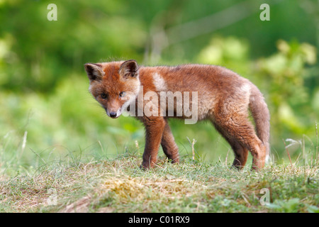 Red fox (Vulpes vulpes), cub standing in a meadow - Stock Photo