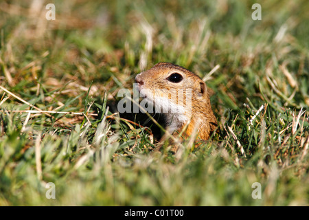 European ground squirrel or souslik (Spermophilus citellus) looking out of its cave - Stock Photo