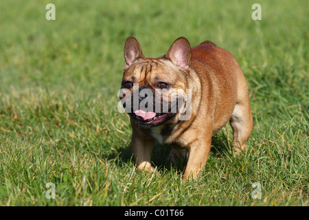running french bulldog - Stock Photo