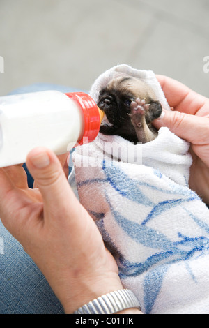 A two-week-old pug puppy being bottle-fed - Stock Photo