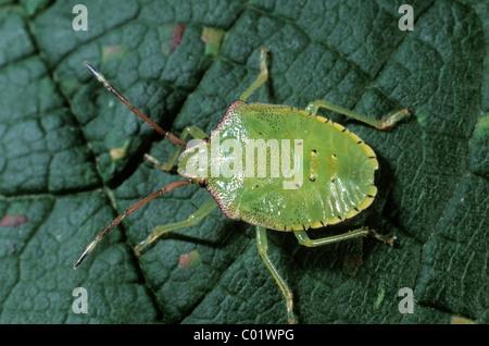 Green Shield Bug (Palomena prasina), larva - Stock Photo