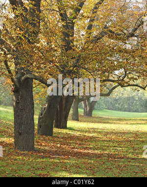 Big old chestnut tree in Fall - Stock Photo