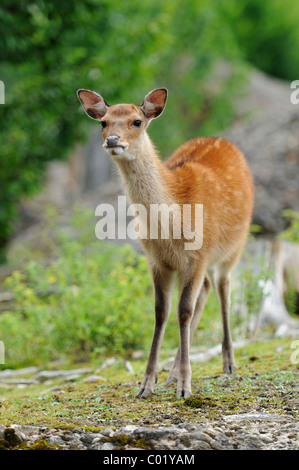Fallow Deer (Dama dama), roe - Stock Photo