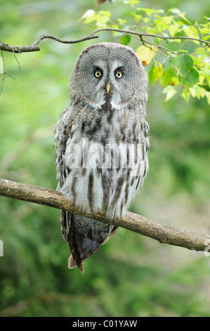 Great Gray Owl (Strix nebulosa) - Stock Photo