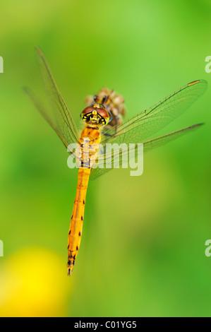 Spotted Darter (Sympetrum depressiusculum) - Stock Photo