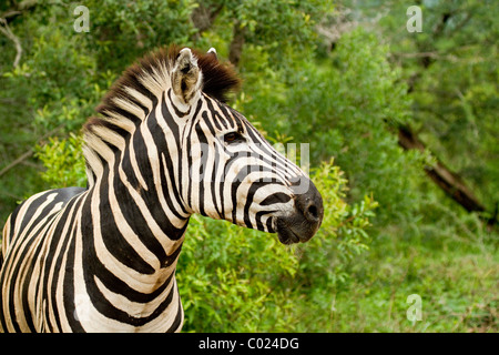 Profile head shot of plains zebra in south africa - Stock Photo