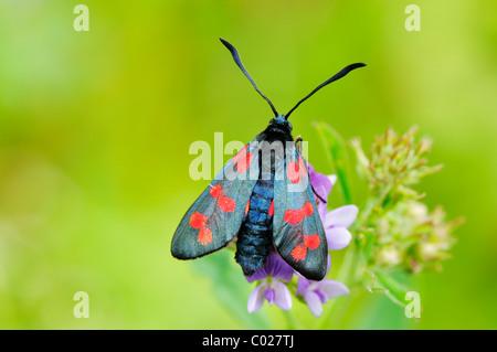 Transparent Burnet (Zygaena purpuralis), sitting on a flower - Stock Photo
