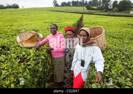 Workers pick tea leaves on a Unilver tea plantation in Kericho, Kenya, East Africa. - Stock Photo