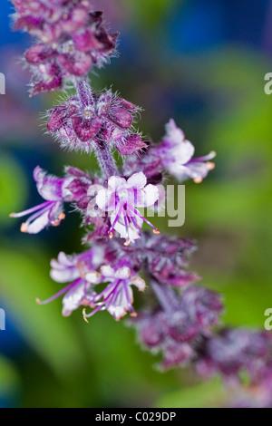 basil flowers ocimum basilicum stock photo royalty free. Black Bedroom Furniture Sets. Home Design Ideas