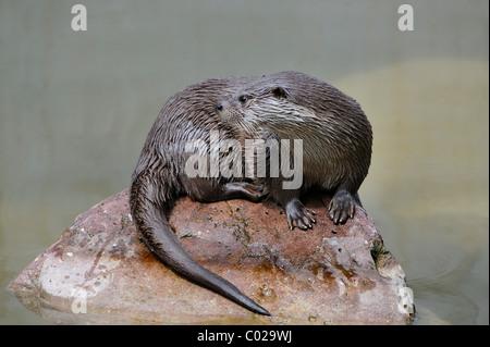 Eurasian otter, Eurasian river otter (Lutra lutra) - Stock Photo