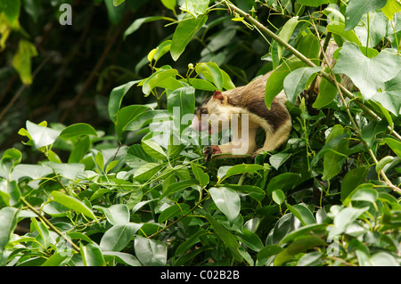A grizzled giant squirrel (Ratufa macroura) Yala National Park Sri Lanka - Stock Photo