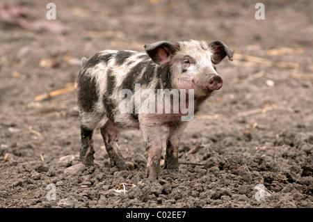 Domestic Pig, Turopolje pig (Sus scrofa domestica), piglet. Rare breed from Croatia. - Stock Photo