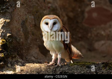 Barn Owl (Tyto alba), adult, Germany, Europe - Stock Photo