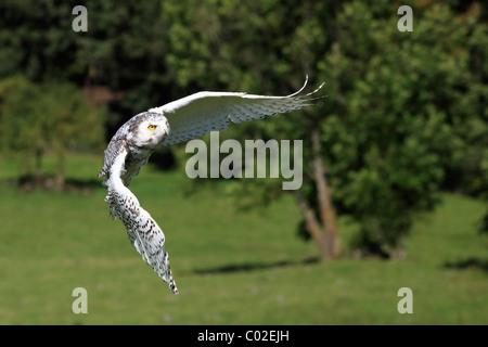 Barn Owl (Tyto alba), flying adult, Germany, Europe - Stock Photo