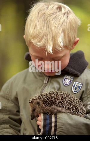 Five year old boy looking at Hedgehog (Erinaceus europaeus) on its arm, Netherlands, October. - Stock Photo