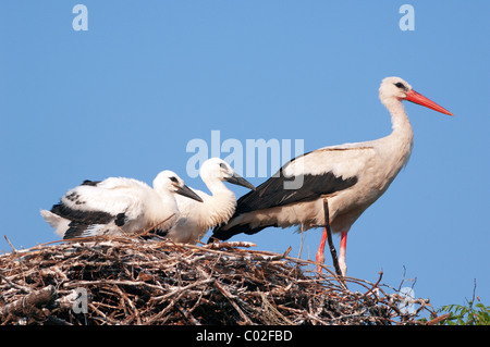 European White Stork (Ciconia ciconia), adult with two juveniles on nest, Burgenland, Austria. - Stock Photo