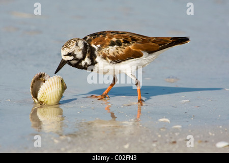 An adult summer/ breeding plumage Ruddy Turnstone feeding along the shoreline - Stock Photo