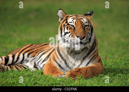 Bengal tiger or Royal Bengal tiger (Panthera tigris tigris), adult, India, Asia - Stock Photo